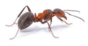 Eine Ameise