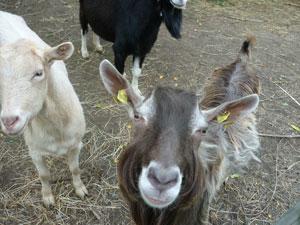 Die Ziegen Karli, Billy und Flora
