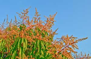 Die Blüten des Mango-Baums