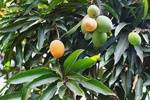 Mango-Früchte unterschiedlichen Reifegrads