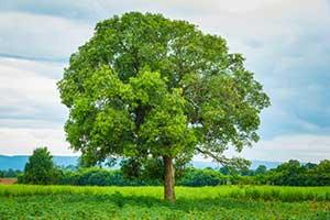 Ein Mango-Baum